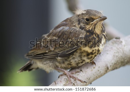 Kid Redwings. - stock photo