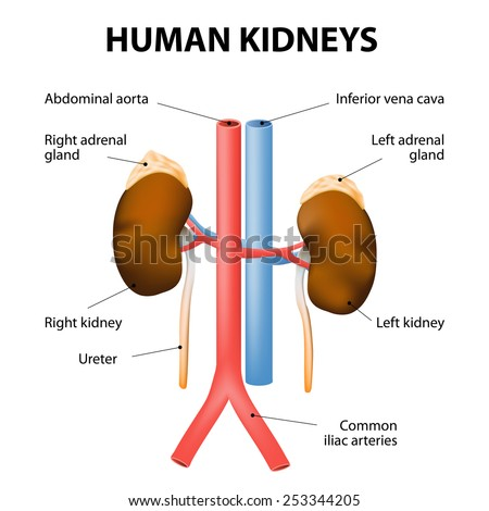 Kidneys, adrenal glands, and blood vessels (aorta and vena cava). Detailed medical illustration. Isolated on a white background. human excretory system.