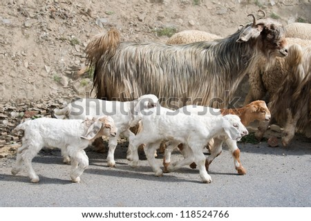 Kids goat and kashmir (pashmina) goats from Indian highland farm in Ladakh going with herd - stock photo