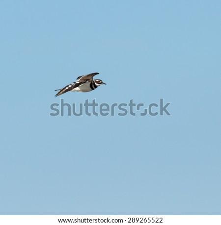 Killdeer in Flight on Blue Sky - stock photo