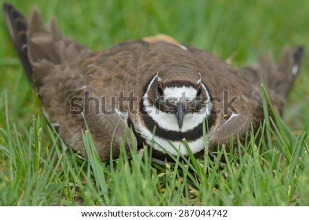 Killdeer performing the broken wing trick to lure a predator away from its nest. - stock photo