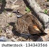 Killdeer Sitting on Nest Incubating Eggs, Along a Gravel Dirt Paved Road - stock photo