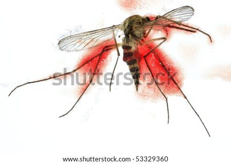 Killed moskito, isolated, full of human blood - stock photo