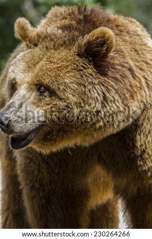 killer, brown bear, majestic and powerful animal - stock photo