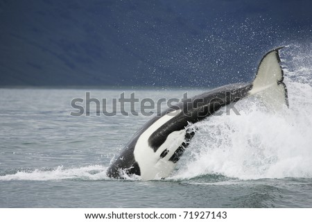 Killer whale in the wild hunting on salmon near in Northwest Pacific, Kamchatka - stock photo
