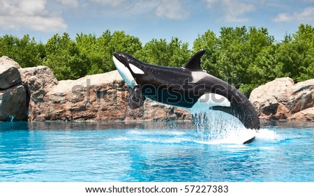 Killer Whale jumping out of the water - stock photo
