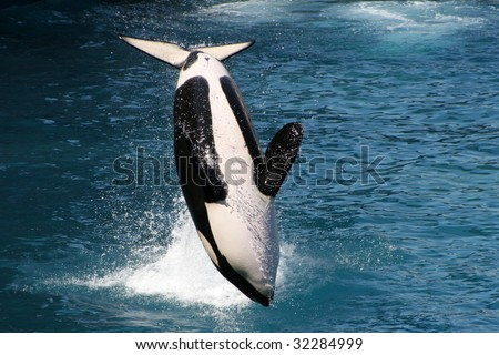 killer whale jumping out of water - stock photo