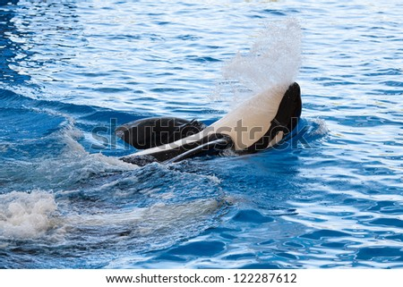 Killer Whale (Orca) on water surface - stock photo