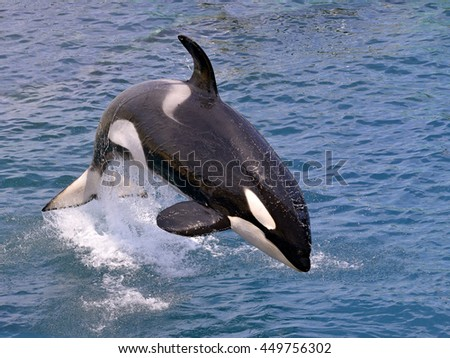 killer whale (Orcinus orca) jumping out of the water - stock photo