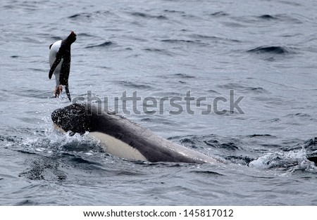 Killer Whale Playing with Penguin - stock photo