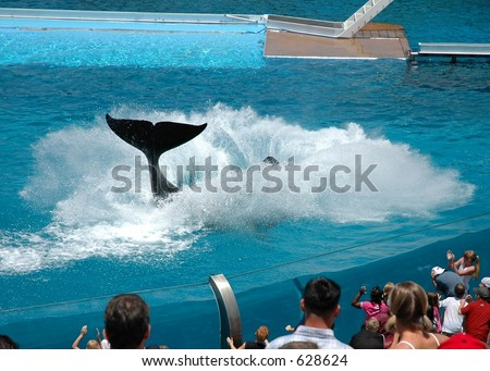 Killer whale splashing water from the pool - stock photo