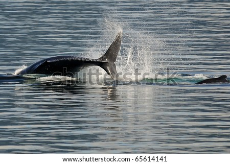 killer whales breach in alaskan waters - stock photo
