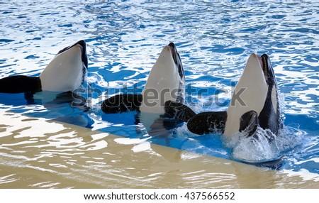 Killer whales dancing in oceanarium - stock photo