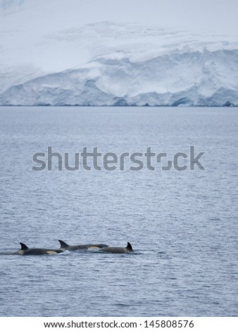 Killer Whales in Antarctica - stock photo