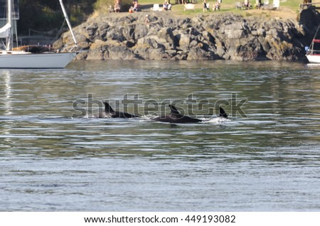 killer whales in the pack in Vancouver in Canada - stock photo