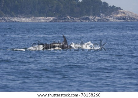 Killer Whales - Orcinus orca in front of San Juan Islands, USA - stock photo