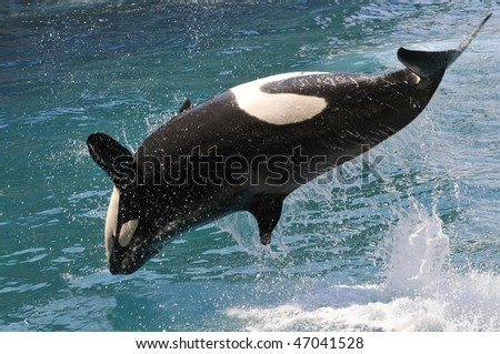 killer whales (Orcinus orca) jumping out of  water - stock photo