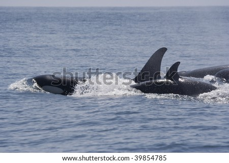 Killer Whales with Blowhole, Canada - stock photo