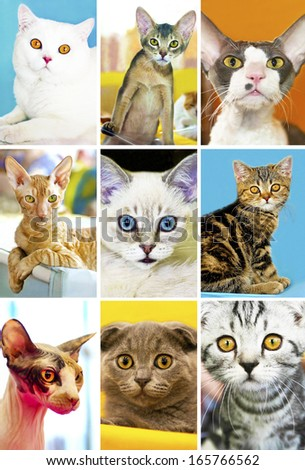 Kind of portraits of pedigreed cats, the cat show.