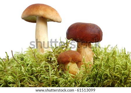 King boletus mushrooms bunch with green moss on white background - stock photo