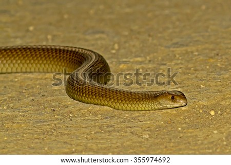 King Brown Snake (Pseudechis australis) - stock photo