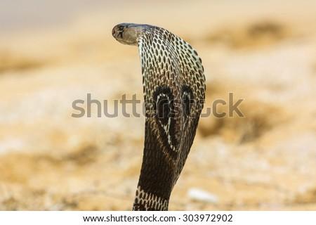King cobra - stock photo