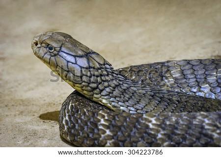 King cobra. - stock photo