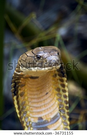 King Cobra - stock photo