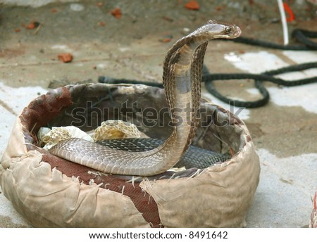 king cobra coming out, rishikesh, india - stock photo