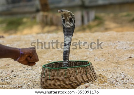 King cobra in basket with her owner - stock photo