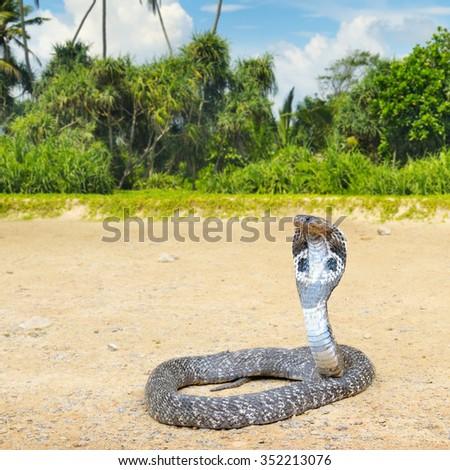 king cobra in the wild nature - stock photo