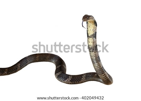 King cobra Isolated on white background. - stock photo