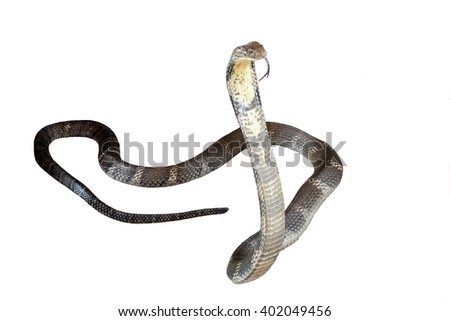 King cobra Isolated on white background.