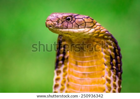 King Cobra (Ophiophagus hannah) The world's longest venomous snake