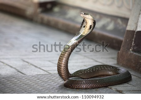 King Cobra snake - stock photo
