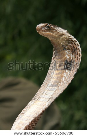 King Cobra Snake in Northern India - stock photo