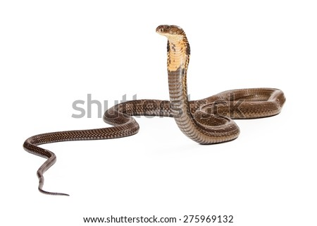 King cobra - The world's longest venomous snake. Commonly found in the forests of India and Southeast Asia. Isolated on white. Looking to the side.  - stock photo