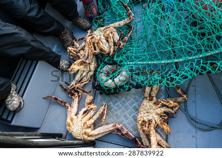 King crab, also called stone crab, part of the superfamily of crab-like decapod crustaceans caught in Norwegian waters. - stock photo
