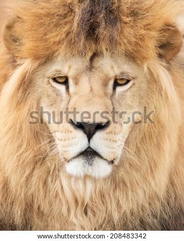 King lion - stock photo