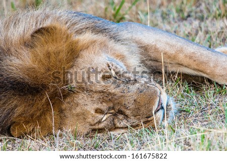 King of Jungle a Lion sleeps after hunting in Africa
