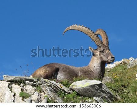 King of the Alps, alpine ibex - stock photo