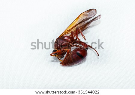 King of Wasps. Wasps Tigers. Wasps are the most dangerous in Thailand. - stock photo