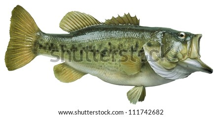 King or chinook salmon chasing lure  isolated on white - stock photo