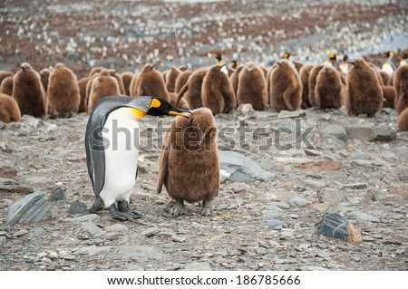 King penguin and chick, with the big colony of King penguin in South Georgia, Antarctica - stock photo