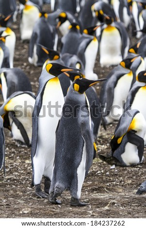 King Penguin - Aptenodytes patagonicus - Colony of king penguins in Bluff Cove, Falkland Islands / Pair of King Penguins  - stock photo