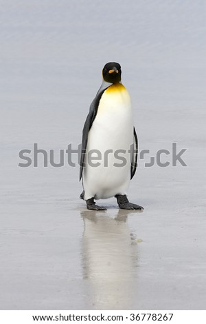 King penguin (Aptenodytes patagonicus) walking on the beach at Volunteer Point, Falkland Islands - stock photo