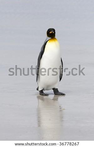King penguin (Aptenodytes patagonicus) walking on the beach at Volunteer Point, Falkland Islands - stock photo