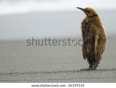 King penguin chick - stock photo