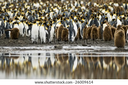 King penguin colony with water reflection - South Georgia - stock photo