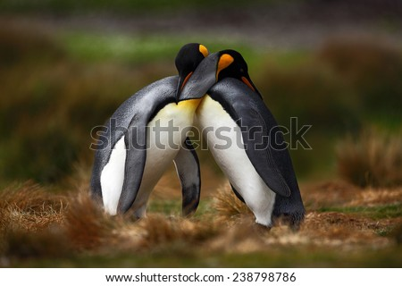 King penguin couple cuddling in wild nature with green background - stock photo